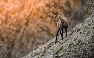 Hiking to discover the chamois (summer)