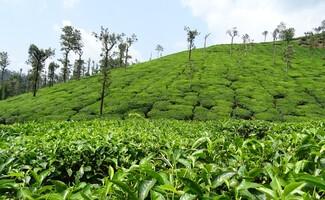 Los jardines de té de Pattumalay