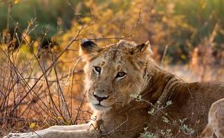Safari-Foto, für mehr Erfahrung, Londolozi Private Game Reserve