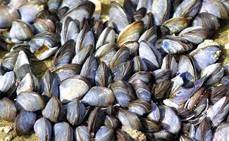 La Baudet Mussels