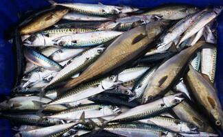 Mercado de peixes no porto de pesca de Saint-Cyprien
