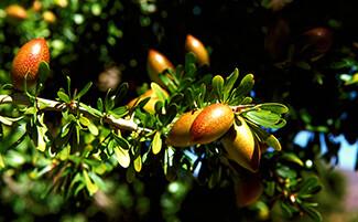 Les coopératives d'huile d'Argan