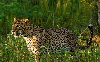 L'incontro con i leopardi, Giungla di Yala