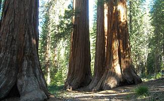 La forêt de Séquoias géants