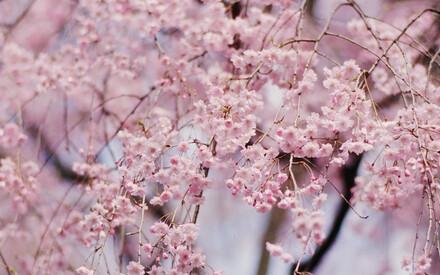 Sakura – Cherry Blossom in Japan