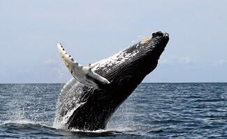 Whale Watching in der Bucht von Samana