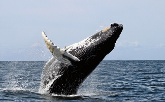 Whale watching in Samaná Bay