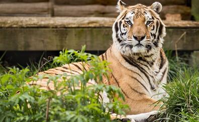 Scoprire il Carolina Tiger Rescue, Pittsboro