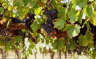 Deep in the Barossa Valley vineyards