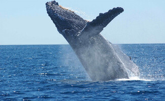 Whales from starboard