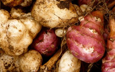 Légumes oubliés : le topinambour