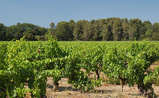 Bandol vineyards