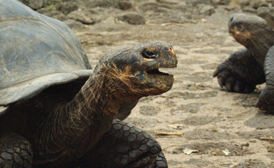 Giant tortoise encounter at the El Chato Reserve