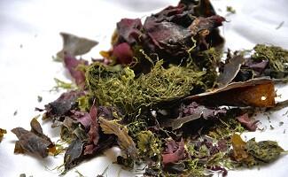Algues Armorique