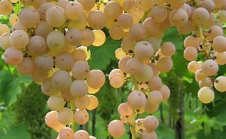 I vini di Monteforte e Soave