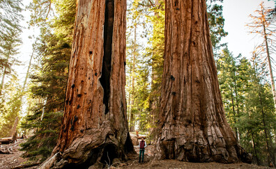 Giant Sequoia Forest