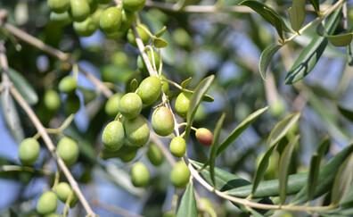 Degustación de aceite de oliva en la finca Comincioli
